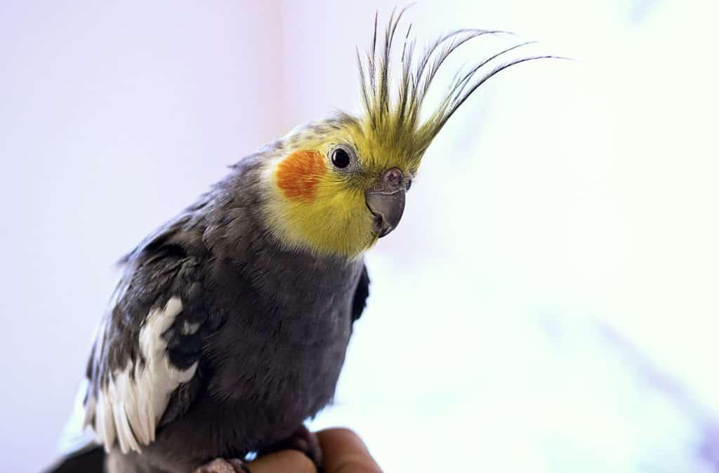 Close photo of a cockatoo