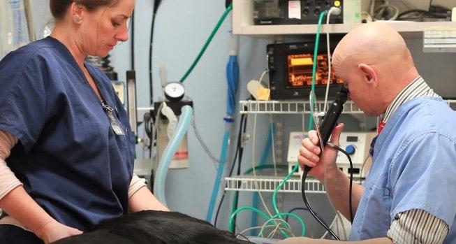 A veterinarian performing an endoscopy procedure to a dog