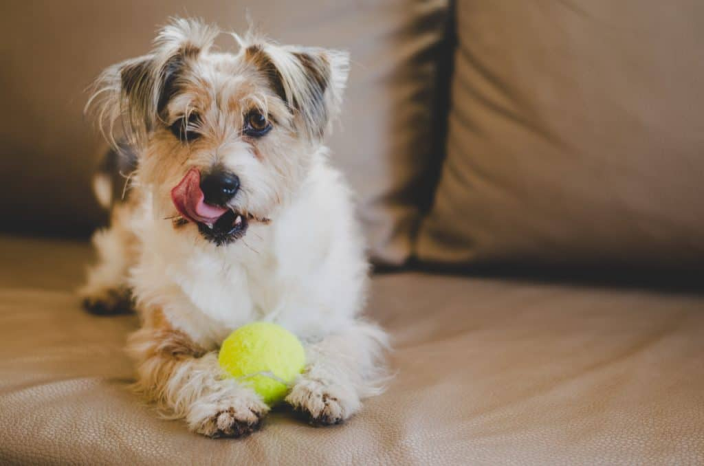 Dog sitting on a sofa holding a tennis ball