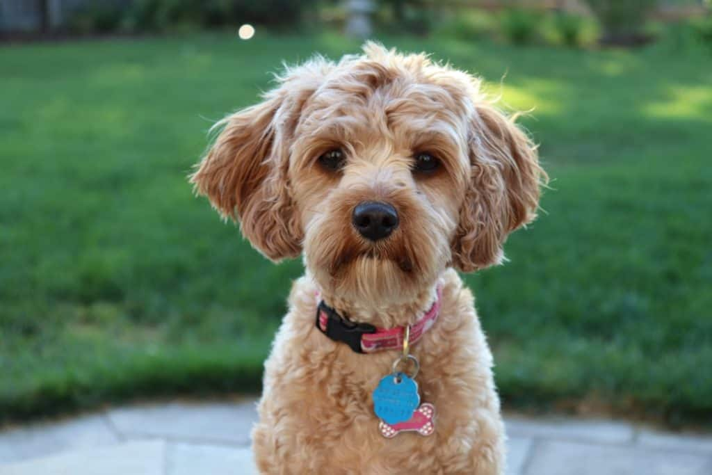 A toy poodle dog breed wearing a pink collar