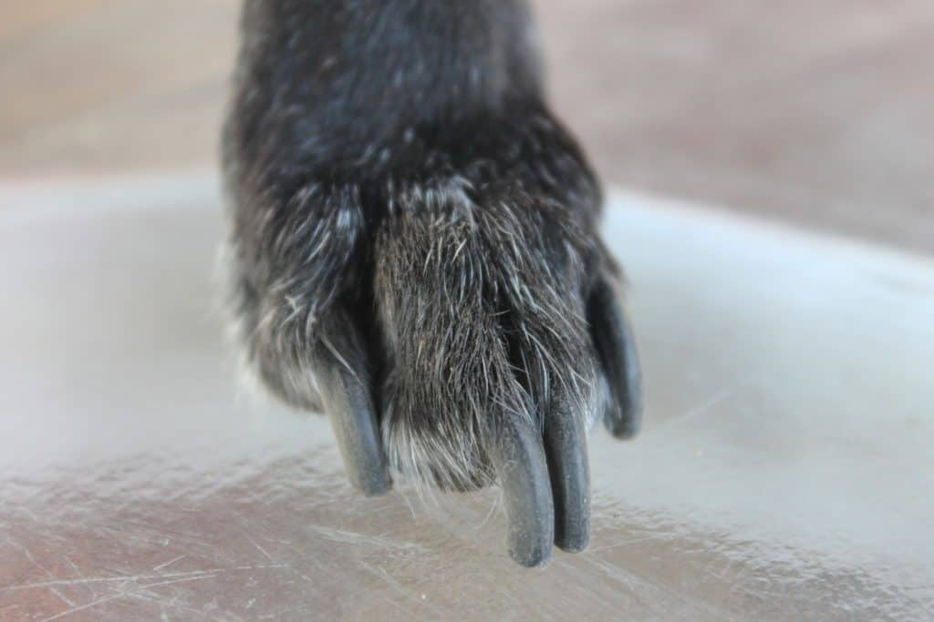 Dog with long nails