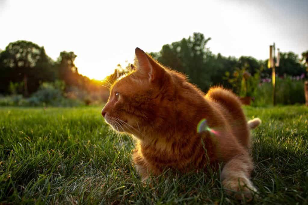 An orange cat lying on the grass