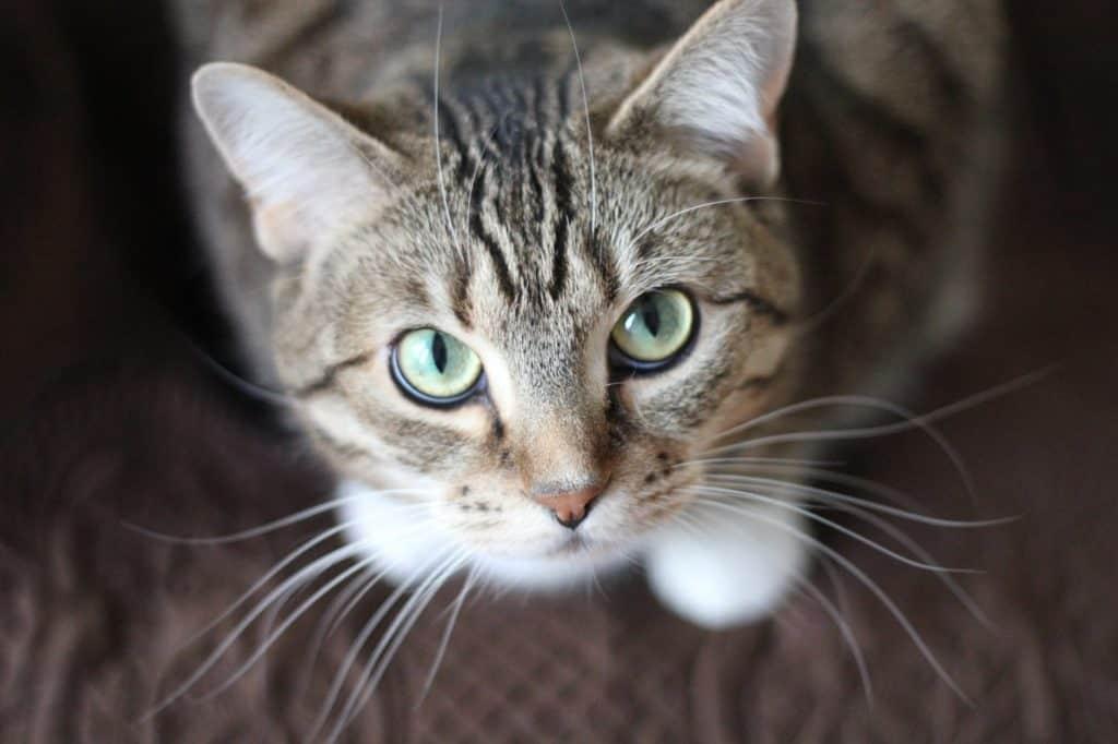 Short-coated cat looking upwards