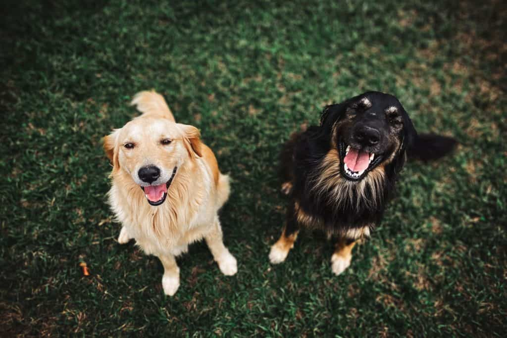 Two dogs yelping happily
