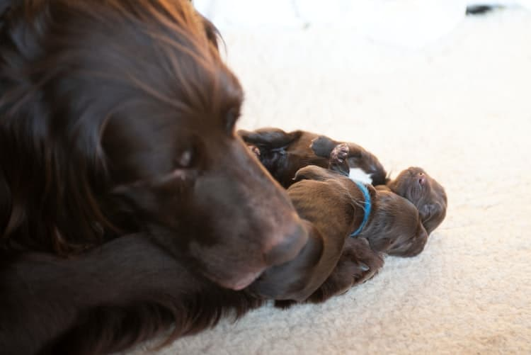 Female dog with her puppies after being spayed