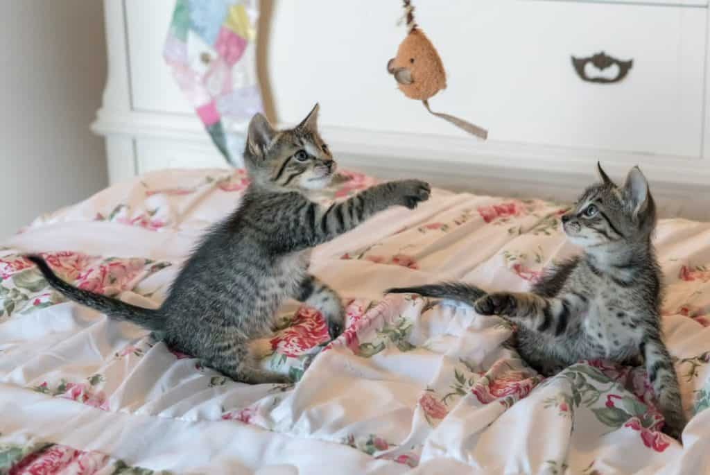 Kittens playing with mouse toy